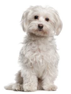 8651648 - maltese, 8 years old, sitting in front of white background
